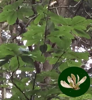 朴の木&花