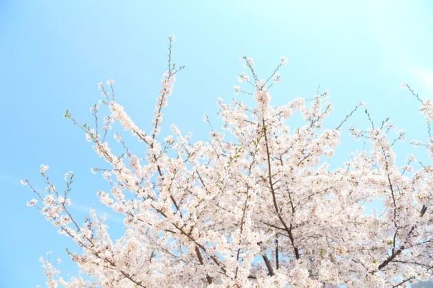 桜・イメージ